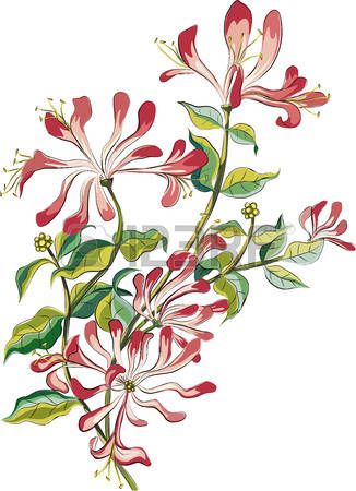 290 Honeysuckle Cliparts, Stock Vector And Royalty Free.