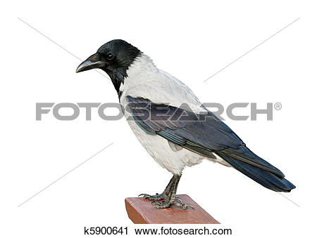 Stock Photography of Isolated Hooded Crow k5900641.
