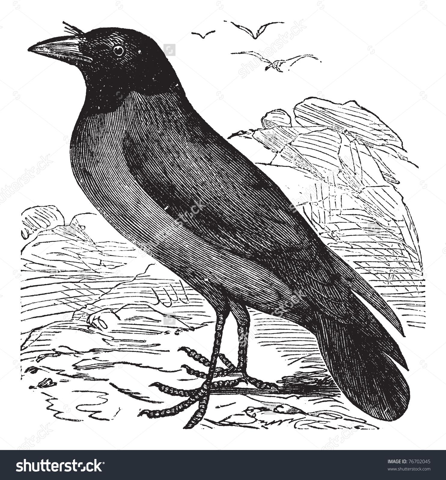 Hooded Crow Hoodiecrow Corvus Cornix Vintage Stock Vector 76702045.