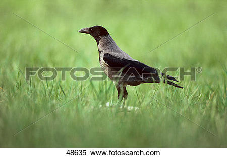 Stock Image of bird, hooded.