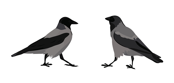 Hooded Crow Clip Art, Vector Images & Illustrations.