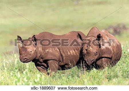 Picture of Black rhinoceros or hook.
