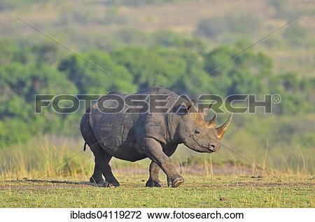 Stock Photo of Black Rhinoceros or Hook.