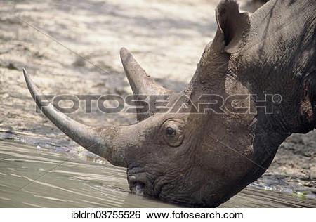 "Stock Images of ""Black Rhinoceros or Hook."