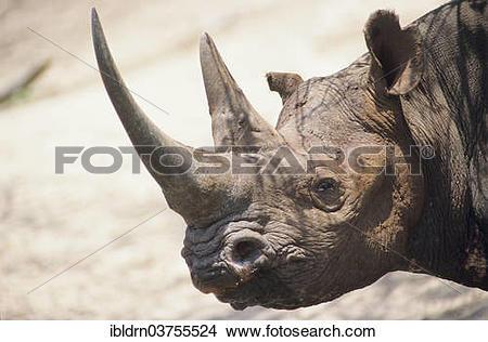 """Stock Photo of """"Black Rhinoceros or Hook."""