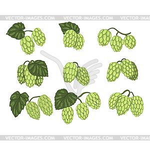 Set of green hop cones branches with leaves. Brewin.