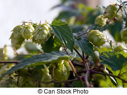 Stock Photography of traditional hop garden in Zatec Town in Czech.