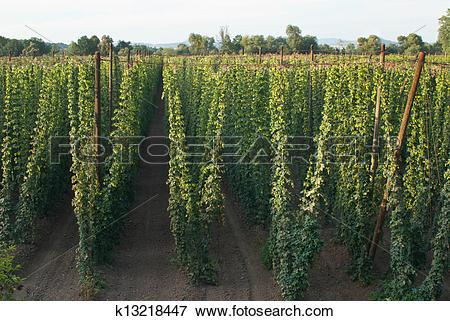 Picture of hop garden k13218447.