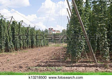 Stock Photography of hop garden k13218500.