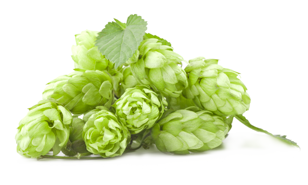 Green,Leaf,Plant,Flower,Humulus lupulus,Hops,Flowering plant.