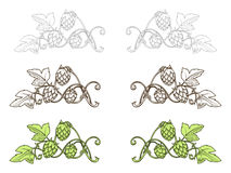 Green Plant Hops Stock Illustrations.