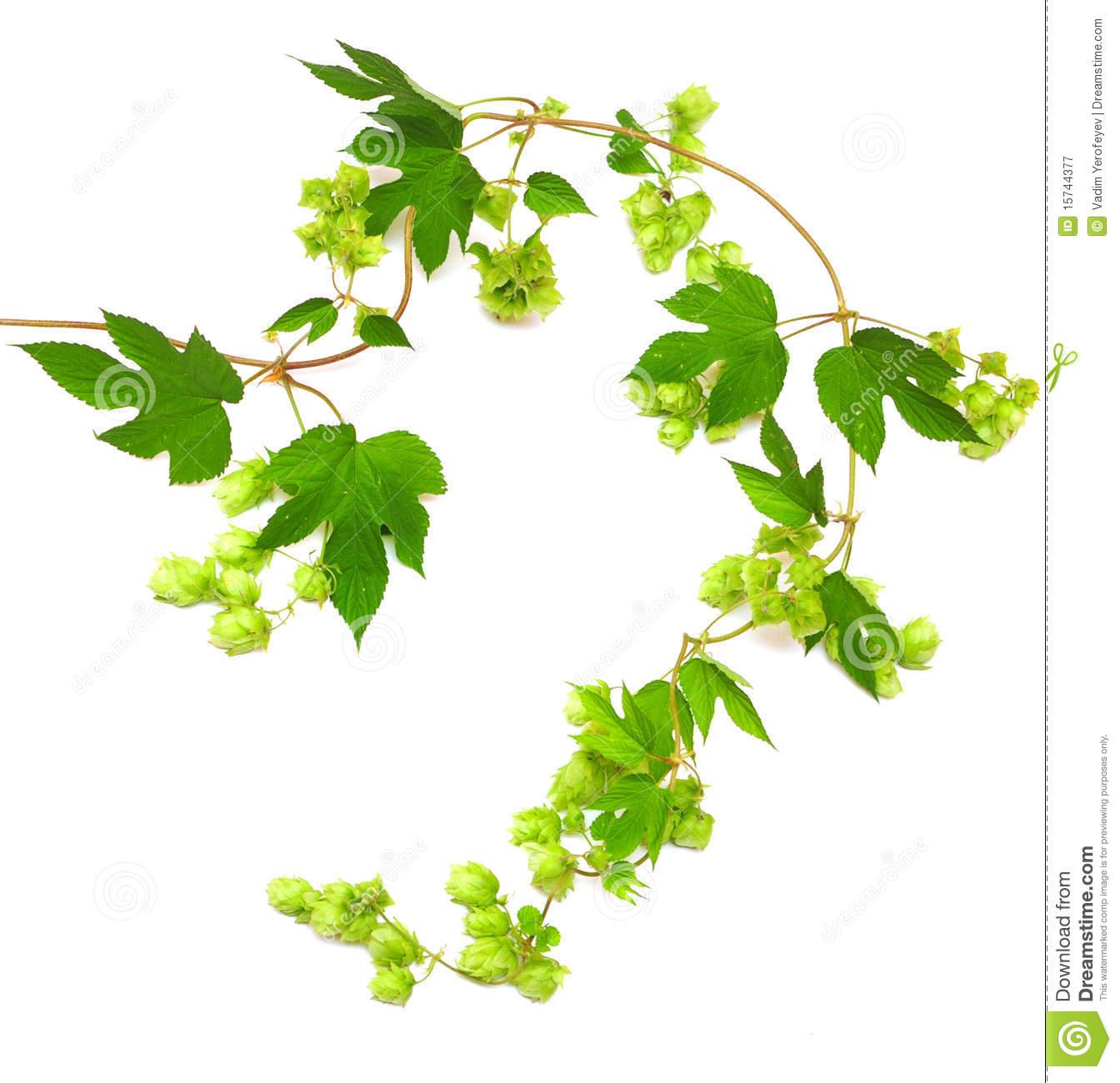 Hops vine clipart.