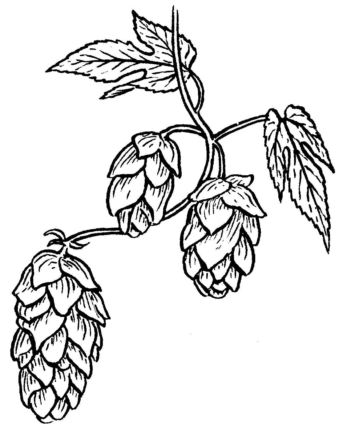 Free Hops Cliparts, Download Free Clip Art, Free Clip Art on Clipart.