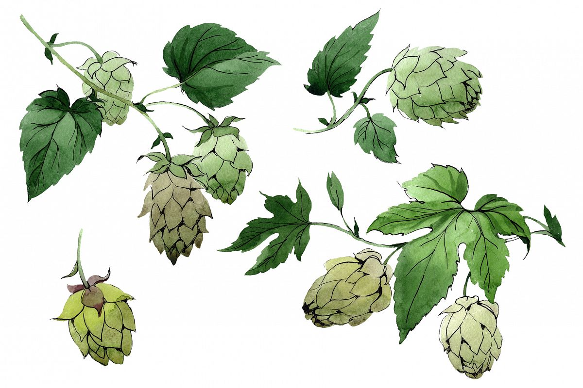 Green watercolor hops png set.