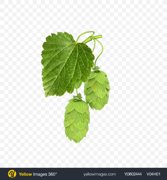Download Hops Transparent PNG on Yellow Images 360°.
