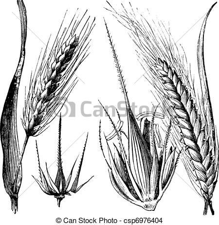 EPS Vector of Common barley or Hordeum vulgare, Barley hinge or.