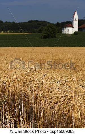 Pictures of Barley field (Hordeum vulgare) with small church in.