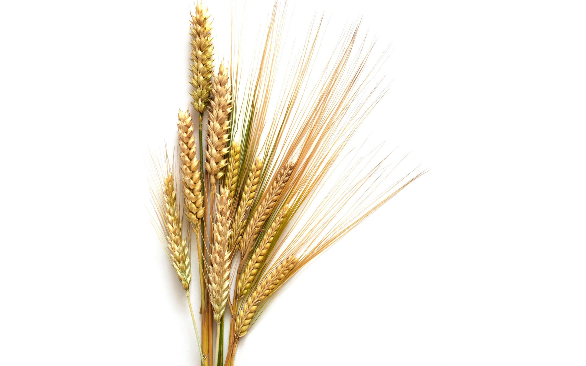 Barley Clipart.