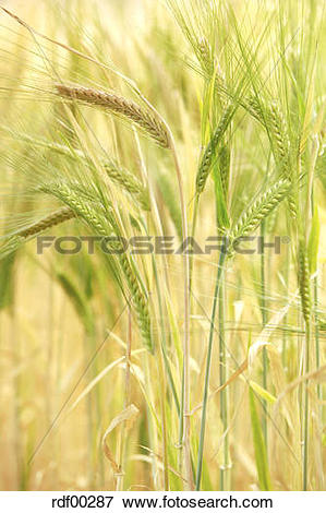 Picture of Barley (Hordeum vulgare), panicles, close up rdf00287.