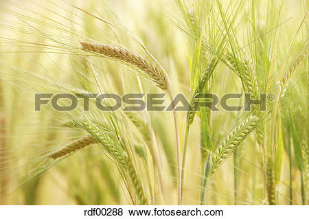 Pictures of Barley (Hordeum vulgare), panicles, close up rdf00288.