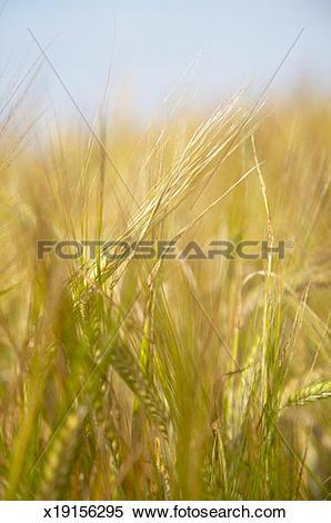 Stock Image of Field of barley (Hordeum Vulgare), close.