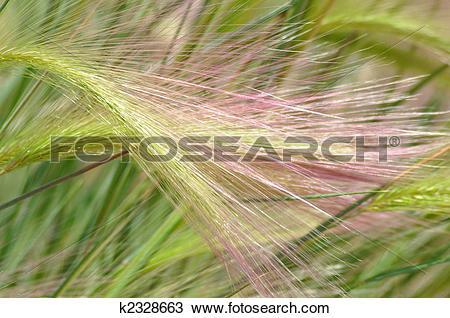 Stock Photo of FOXTAIL BARLEY GRASS (HORDEUM JUBATUM) k2328663.