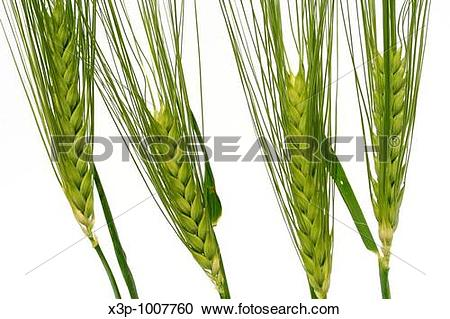 Stock Photography of Barley Hordeum vulgare x3p.
