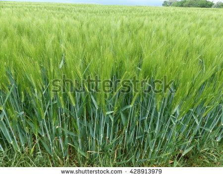"""barley Grits"""" Stock Photos, Royalty."""