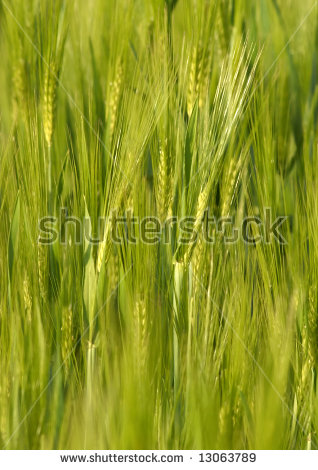 Barley Hordeum Vulgare Stock Photo 45864808.