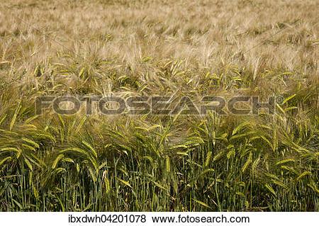 Pictures of Barley (Hordeum vulgare) field, North Rhine.