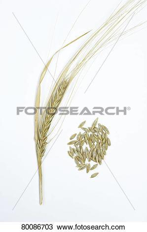 Stock Photo of DEU, 2010: Wild Barley (Hordeum vulgare subsp.
