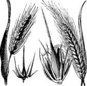 Clipart of Common barley or Hordeum vulgare, Barley hinge or.