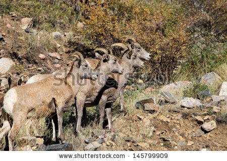 Big Horn Sheep Stock Photos, Royalty.