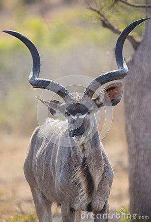 Big Kudu Stock Photos.