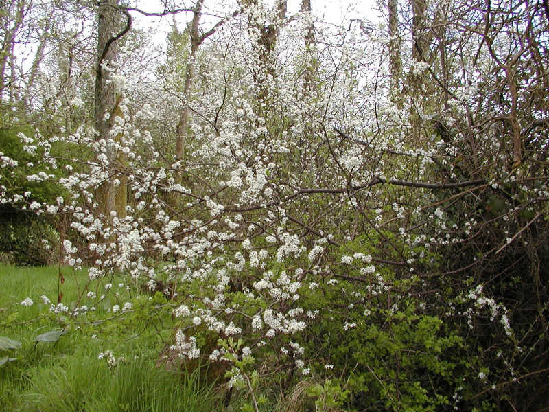 Blackthorn tree data.