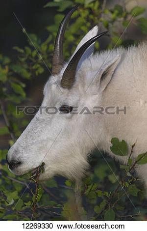 Stock Photography of Mountain Goat (Oreamnos americanus) eating.