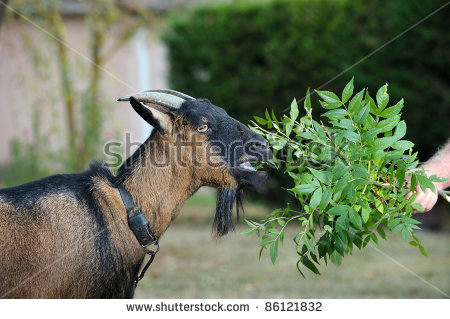 Tamed Goat Eats The Leaves Of Shrubs Stock Photo 86121832.