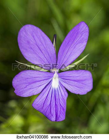 Stock Images of Horn Violet (Viola cornuta), Catalonia, Spain.