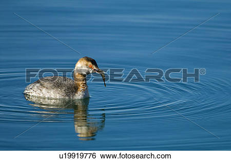Stock Images of Horned grebe (Podiceps auritus) with fish in beak.
