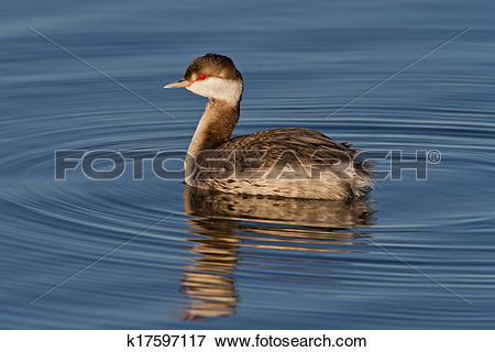 Picture of Horned Grebe (Podiceps auritus) k17597117.