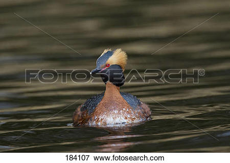 Picture of Slavonian Grebe. Horned Grebe (Podiceps auritus), adult.