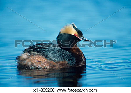 Pictures of Horned grebe with summer plumage, North America.
