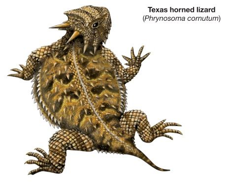 Texas horned lizard (Phrynosoma cornutum).