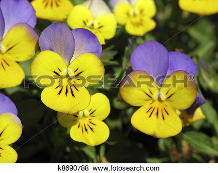 Pictures of Horned Pansy, Horned Violet k8690788.