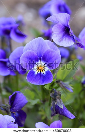 """horned Violets"""" Stock Photos, Royalty."""