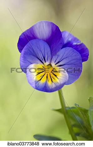 "Pictures of ""Horned Pansy or Horned Violet (Viola cornuta), Tyrol."