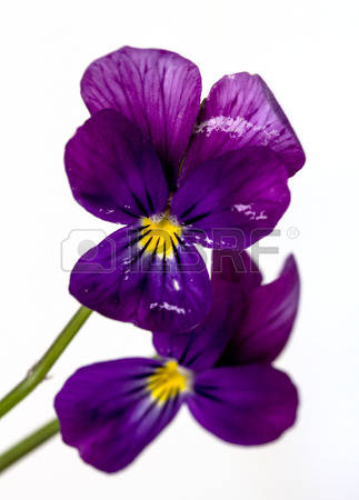 Horned Violet Stock Photos, Pictures, Royalty Free Horned Violet.