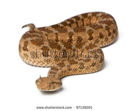 Horned viper clipart #1