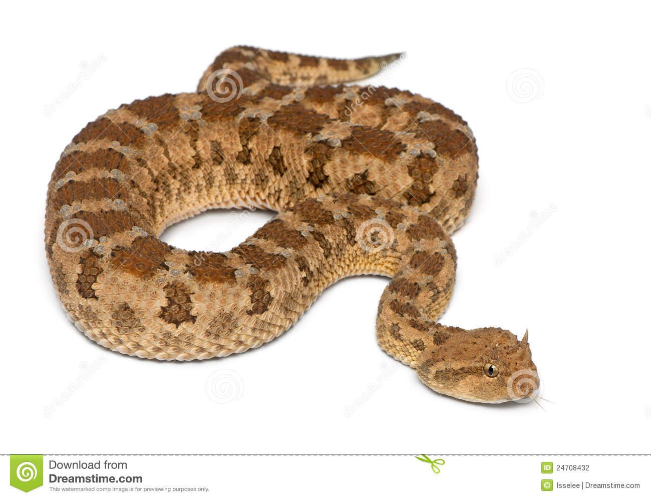 Saharan Horned Viper.
