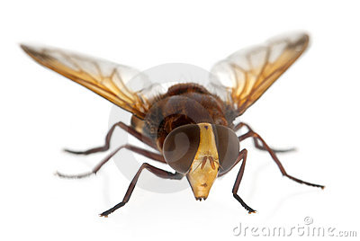 Hornet Mimic Hoverfly, Volucella Zonaria Stock Photography.